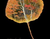 Aspen Leaf Autumn Scene -2-8x12 Metallic Print - Colorado Autumn