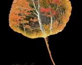 Aspen Leaf Autumn Scene -2-8x12 Metallic Print - Colorado Autumn