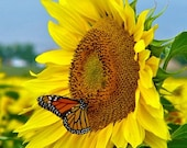 Colorado Monarch Butterfly on Sunflower  - 5x7 Giclee Print - PixelGallery