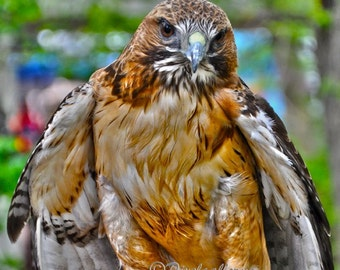 Red Tailed Hawk - Boulder, Colorado 8x8 Metallic Print