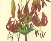 Vintage 1968 Lily Color Print Wild Flowers of America PLATE 33 and 34 Turks Cap Lily and Columbia Lily