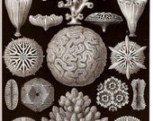 Ernst Haeckel 1974 Corals Art Print Collectable Vintage Book PLATE 9 and 10 Star Corals and Starfishes