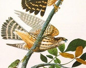 Audubon Birds of America Vintage 1979 Art Print Collectable Book PLATE 50 MERLIN or Pigeon HAWK