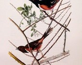 Audubon Birds of America Vintage Art Print Collectable Book PLATE 104 TOWHEE White raspberry Berry flowers tree branches
