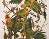 Audubon Birds Print Vintage 1979 Art Print Collectable Book PLATE 140 Carolina Parakeet Green Parrot Tropical Birds to Frame