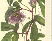 Vintage 1968 MAYPOPS Color Print Wild Flowers of America Book PLATE 230 231 232 Maypops Purple Violet and Johnny Jump Up