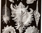 Ernst Haeckel SHELLS OCTOPUS 1974 Art Print Frameable Vintage Book PLATE 53 54 Sea Ocean Octopuses Marine Snails and Shells Gorgeous