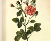 REDOUTE FRENCH ROSES 2007 Color Art Print Frameable Botanical Print Plate 179 180 Hybrid Agatha Incarnata Petals Rosebuds Dog Rose Hybrid