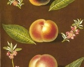 FRUIT PRINT PEACH 2002 Color Art Original Book Plate 99 100 Beautiful Yellow Peaches Pink Tree Flowers and Blooms and Green Leaves Nature