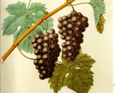 FRUIT PRINT GRAPES 2002 Color Art Original Book Plate 127 Beautiful Antique Grapes on Vine with Leaves on Light Ivory with Antiqe Writing