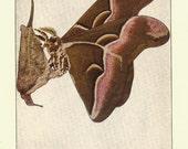 ANTIQUE Butterfly Print 1924 BUTTERFLIES Color Art Print Book Plate Frameable Beautiful Cynthia Moth Butterfly and Cocoon