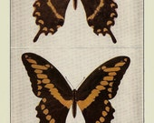 ANTIQUE 1924 BUTTERFLIES Doublesided Color Art Print Book Plate Frameable Beautiful Swallowtails in Brown and Golden Yellow Butterfly