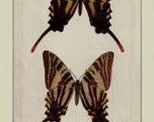 ANTIQUE 1924 BUTTERFLIES Doublesided Color Art Print Book Plate Frameable Beautiful Zebra Swallowtail Butterfly Clouded Butterfly Flower