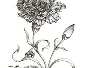 Maria Sibylla Doublesided Vintage 1991 Art Print Original Book PLATE 49 and 50 Black and White Engraving Etching Beautiful Large Spring Carnation Flower and Acorns on Tree Branch with Butterfllies and Caterppilars and Moth