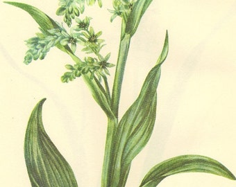 Vintage 1968  Book PLATE 25 and 26 Color Print Wild Flowers of America Bookplate False Hellebore and Fly Poison
