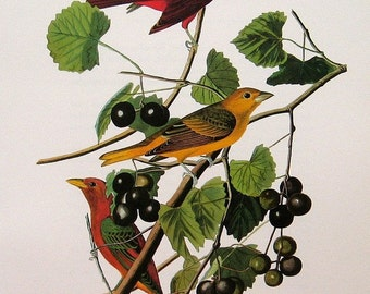 Audubon Birds Vintage 1979 Art Print Collectable Book PLATE 58 SUMMER TANAGER Bird Berried Tree Branch Nature