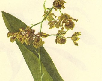 Vintage 1968 Color Print Wild Flowers of America Book PLATE 91 92 Bee Swarm Cowhorn Orchid and Night Smelling Epidendrum