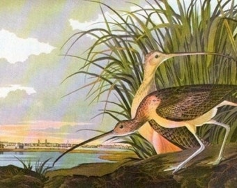 Audubon Birds of America Vintage 1979 Art Print Collectable Book PLATE 78 Long BILLED CURLEW Lake Natural Science Beautiful Decoration