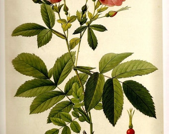 REDOUTE 2007 Art Print Antique ROSES Plate 45 46 Pink Red Berry Rosa Pendulina L. Var. and Blanda Aiton Beautiful Garden Room Decor to Frame
