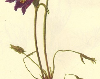 Vintage 1968 Color Print Wild Flowers of America Book PLATE 123 124 Pasqueflower  Pulsatilla Ludoviciana
