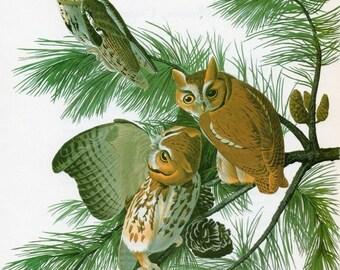 OWL Print Vintage Audubon  Birds of America Vintage 1979 Art Print Collectable Book PLATE 126 Screech Owl