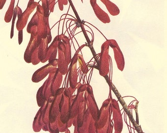 Vintage 1968 Color Print Wild Flowers of America Book PLATE 216 and 217 Carolina Maple and Red Buckeye