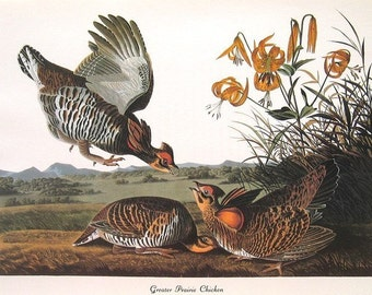 Audubon Birds of America Vintage 1979 Art Print Collectable Book PLATE 136 Prairie Chicken Yellow Tiger Lillies