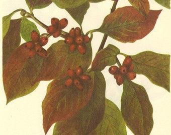 Vintage BERRY Print 1968 Color Wild Flowers of America Book PLATE 248 249 Flowering Dogwood and Bunchberry Dwarf Cornel Red Berries