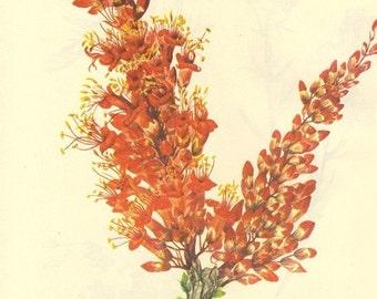 Vintage 1968 Color Print Wild Flowers of America Frameable Book PLATE 310 311 Ocotilla Mistmaiden Sand Silky Phacelia Orange Purple