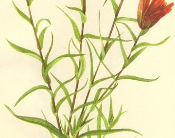 Vintage 1968 Color Print Wild Flowers of America Book PLATE 345 346 Lance Leaf Paintbrush and Pale Paintbrush