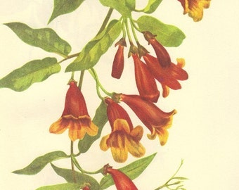 Vintage Botanical Print 1968 TRUMPET Color Print Wild Flowers of America Book PLATE 351 and 352 Cross Vine and Trumpet Creeper