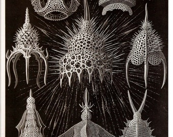 Ernst Haeckel 1974 Art Print Collectable Frameable Vintage Book PLATE 31 32 Radiolaria Rotifers Black and White Home Decor to Frame