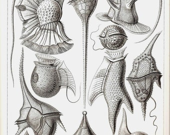 Ernst Haeckel Art Print Collectable Vintage 1974 Book PLATE 13 and 14 Flagellates and Dinoflagellata