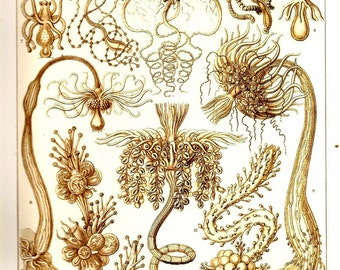 Ernst Haeckel 2010 CORALS Art Print Beautiful  Book PLATE 5 and 6 Tubulariae Ocean and Sea Jellyfish and Corals