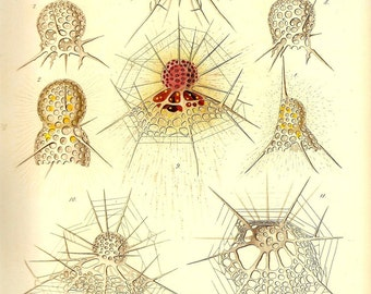 Ernst Haeckel OCEAN Art Print Beautiful Colored Book PLATE 6 Ocean Dictyophimus Tripus Lithomelissa Thoracites, Arachnocorys