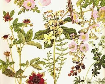 Botanical Print Vintage 1970 Color Art Wild Flowers Book PLATE 9 Sweet Briar Marsh Cinquefoil Dropwort Blackberries Wild Roses Berries