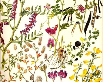 Vintage 1970 Color Art Print Wild Flowers Book PLATE 10 Black Bitter Vetch, Pea, Hare Foot Clover, Milk Vetch Flowers in Pink and Yellow