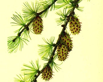 Vintage 1968 PINE CONE Color Print Wild Flowers of America Book PLATE 5 and 6 Western larch and Limber Pine