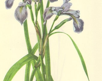 Vintage 1968 Color Print Wild Flowers of America Iris Book PLATE 63 and 64 Blue Eyed Grass and Large Blue Flag Iris