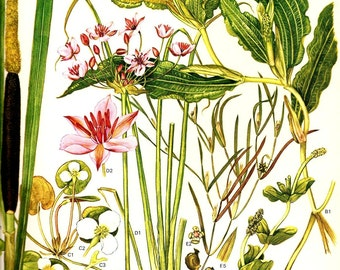 Botanical Print Vintage 1970 Mediterranean Wild Flowers Book PLATE 23 Great Reed Mace Pondweed Rush Beautiful Wild Flowers Plants Pink Green