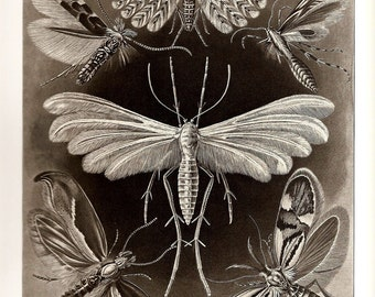 Ernst Haeckel BUTTERFLY CRAB Art Print 2010 Collectable Book PLATE 57 and 58 Beautiful Butterflies and Moth and Ocean and Sea Crabs
