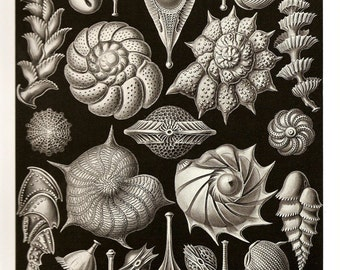 Ernst Haeckel 2010 SEA SHELLS PLANTS Colored Art Print  Book Plate 81 82 Thalamophora and Kammerlinge Ocean Sea Shells and Beautiful Flowers