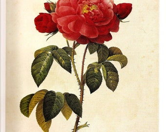 REDOUTE Antique FRENCH ROSES Color Print Plate 155 156 Rose Duchesse D'Orleans Gorgeous Petals Rusebuds Double  Malmedy-Rose Red Berry