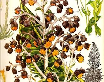 Vintage Botanical Print 1970 TROPICAL Color Art Wild Flowers Book PLATE 65 Cupid Paintbrush Plant Orange Brown Flowers Green Leaves Plants