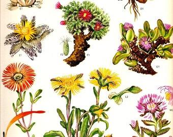 Vintage 1970 CACTUS Color Art Print Mediterranean Wild Flowers Original Book PLATE 73 Beautiful Blooming Cactuses Pink Yellow Orange Seeds