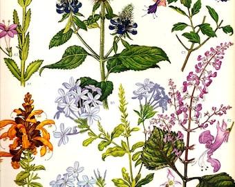 Vintage Botanical Print 1970 Color Art Wild Flowers Original Book PLATE 80 Blue, Purple, Pink and Orange Flowers Spring Summer Plants