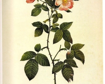 ROSES Botanical Print 2007 REDOUTE Color Art Frameable Plate 177 178 Prairie Rose in Blush Pink and Austrian Copper Rose Red French Decor