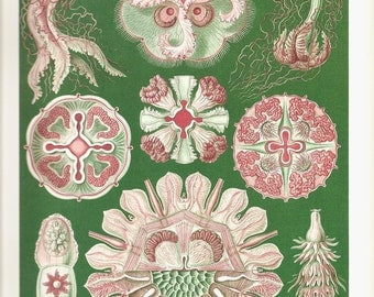 Ernst Haeckel 2010 SHELLS JELLYFISH Colored Art Print Book Plate 97 98 Beautiful Jellyfish Ocean Life on Aqua Background and Detailed Shells