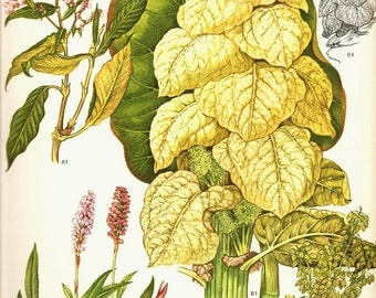 Vintage 1970 GOLDEN CUP Color Art Print Wild Flowers Original Book PLATE 96 Beautiful Large Plant with Leaves and Blooming Plants in Pink
