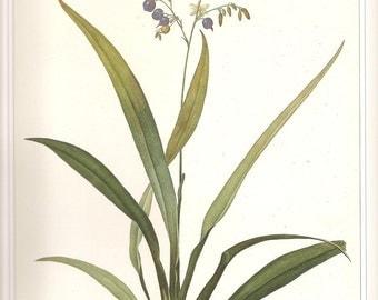 Vintage Botanical Print REDOUTE 1990 FLOWERS Color Art  Frameable Original Book Plate 24 Daniella Ensifolia Blue Flowers Berries Plant